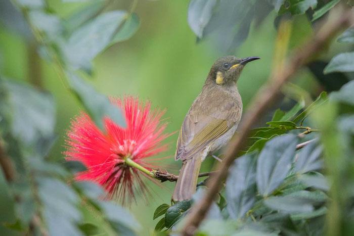Torreshonigfresser (Meliphaga notata) auf dem Geländer der Kingfisher Park Birdwatchers Lodge.
