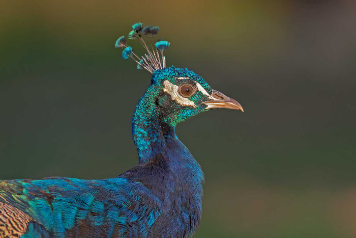 Blauer Pfau (Pavo cristatus) auf dem Gelände der mallorquinischen Finca Son Real.