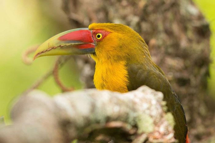 Goldtukan (Pteroglossus bailloni) im Garten des Hotel Do Ype im brasilianischen Nationalpark Itatiaia.