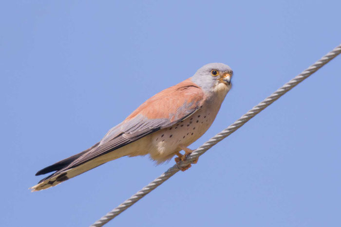 Männlicher Rötelfalke (Falco naumanni) in der Argolis  auf der griechischen Halbinsel Peloponnes.