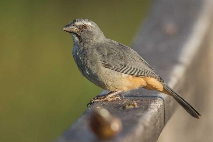 Grausaltator (Saltator coerulescens) auf der Pouso Alegre Lodge im brasilianischen Pantanal.