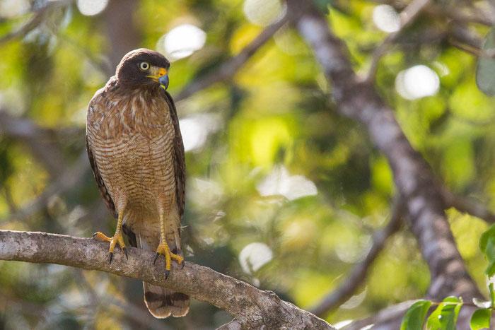 Wegebussard (Buteo magnirostris) auf der Pouso Alegre Lodge im brasilianischen Pantanal.