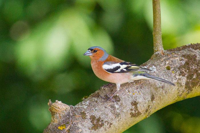 Buchfink (Fringilla coelebs) im Vogelschutzgebiet Amöneburger Becken.
