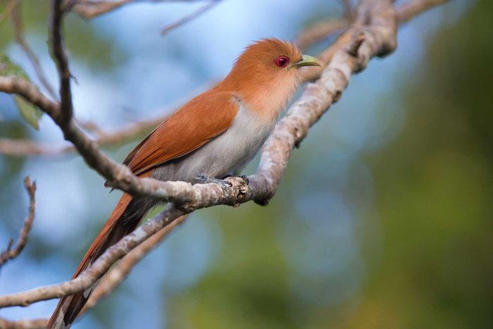 Eichhornkuckuck; Piaya cayana; squirrel cuckoo