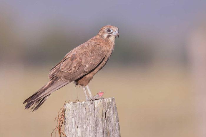 Junger Habichtfalke (Falco berigora) im australischen Queensland.