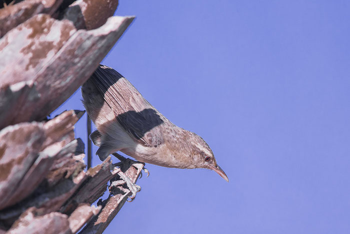 Drosselzaunkönig (Campylorhynchus turdinus unicolor) im brasilianischen Pantanal.