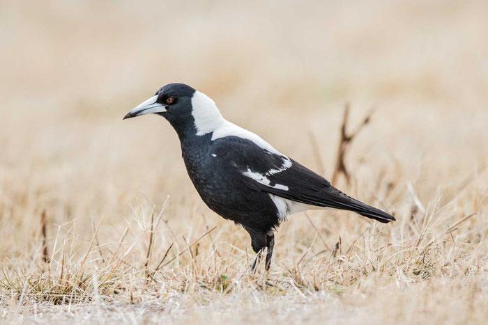 Flötenvogel (Gymnorhina tibicen) auf dem St. Kilda Adventure Playground bei Adelaide.