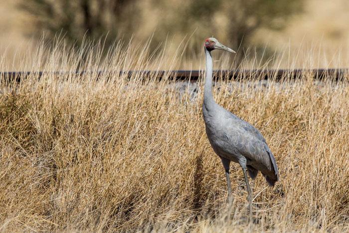 Brolga (Antigone rubicunda) im Outback von  Queensland.