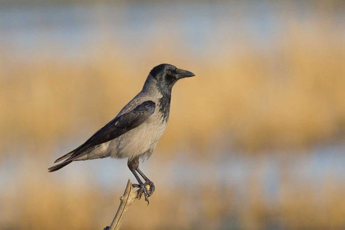 Nebelkrähe (Corvus corone) im Saaler Bodden im Mecklenburg-Vorpommern.