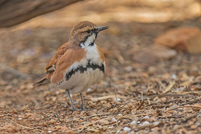 Männlicher Zimtflöter (Cinclosoma cinnamomeum) im Desert Park von Alice Springs.