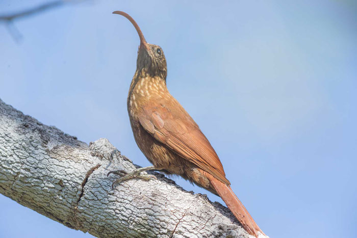Rotrücken-Sensenschnabel (Campylorhamphus trochilirostris) auf der Pouso Alegre Lodge im Pantanal.