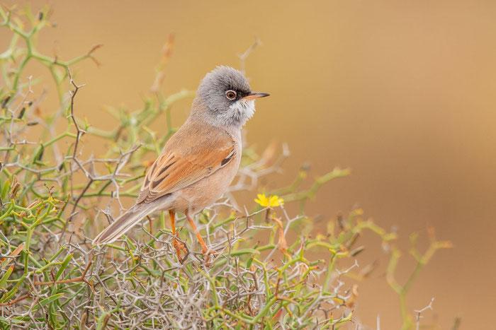 Brillengrasmücke (Sylvia conspicillata) im Parque Rural de Betancuria auf Fuerteventura.