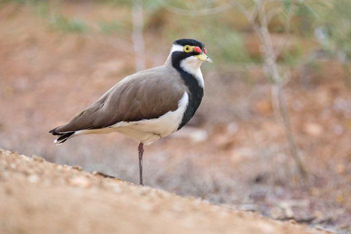 Schwarzbandkiebitz (Vanellus tricolor), im Desert Park von Alices Springs.