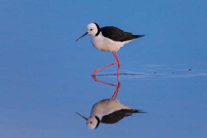 Weißgesicht-Stelzenläufer (White-headed stilt) im südaustralischen Port Augusta.