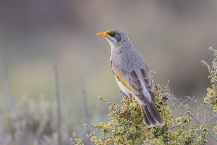 Gelbstirn-Schwatzvogel (Manorina flavigula)  im Australian Arid Lands Botanic Garden von Port Augusta.
