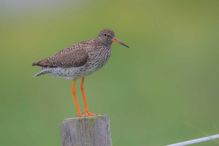 Rotschenkel, Tringa totanus, Common redshank