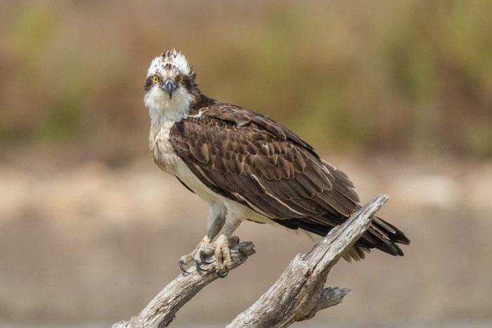 Fischadler (Pandion haliaetus) im Parc natural de s'Albufera von Mallorca.