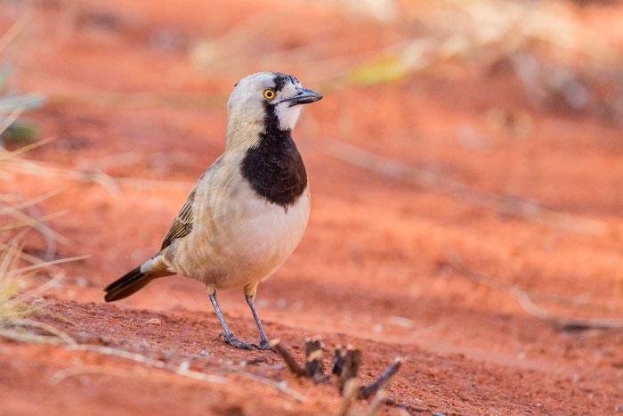 Haubendickkopf (Oreoica gutturalis) im Desert Park von Alice Springs.