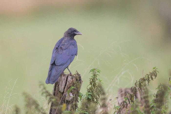 Rabenkrähe (Corvus corone) im Schröcker Feld bei Marburg.
