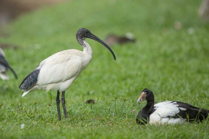 Molukkenibis (Threskiornis molucca) im australischen Cairns/.