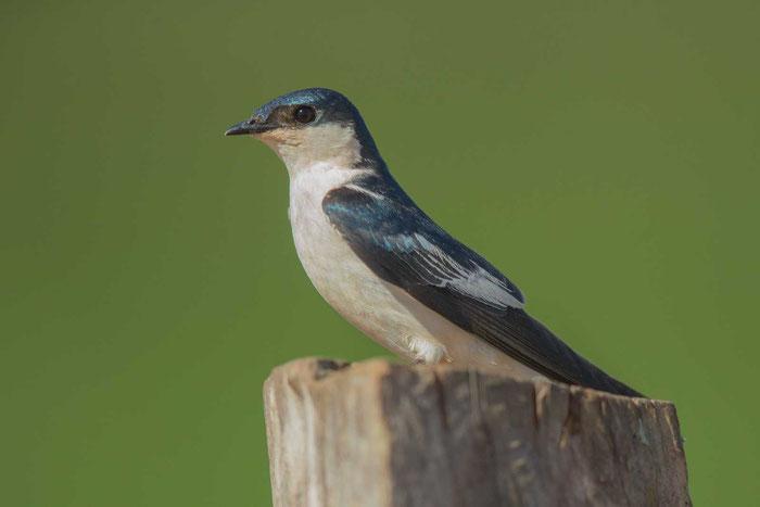 Cayenneschwalbe, Tachycineta albiventer, White-winged Swallow