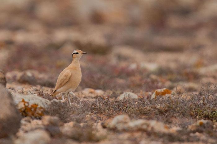 Rennvogel (Cursorius cursor) in der Steppe von Tindaya auf der Insel Fuertventura.
