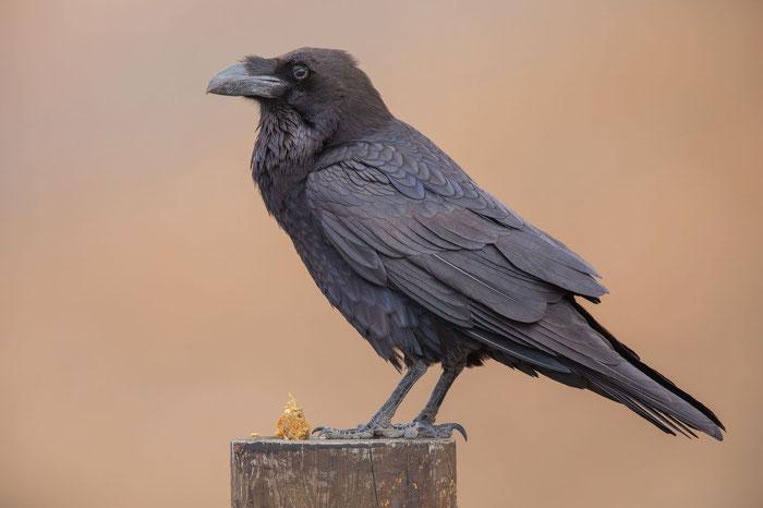 Ostkanaren-Kolkrabe (Corvus corax jordansi) mit Speiballen im Parque Rural de Betancuria.