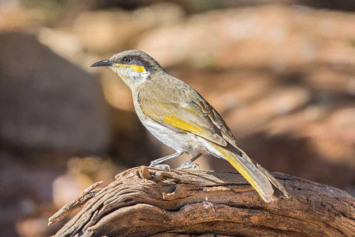 Pfeifhonigfresser (Gavicalis virescens) im Australian Arid Lands Botanic Garden von Port Augusta.