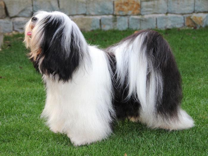 Tibet Terrier Rüde, weiss-schwarz streckt die Zunge raus!