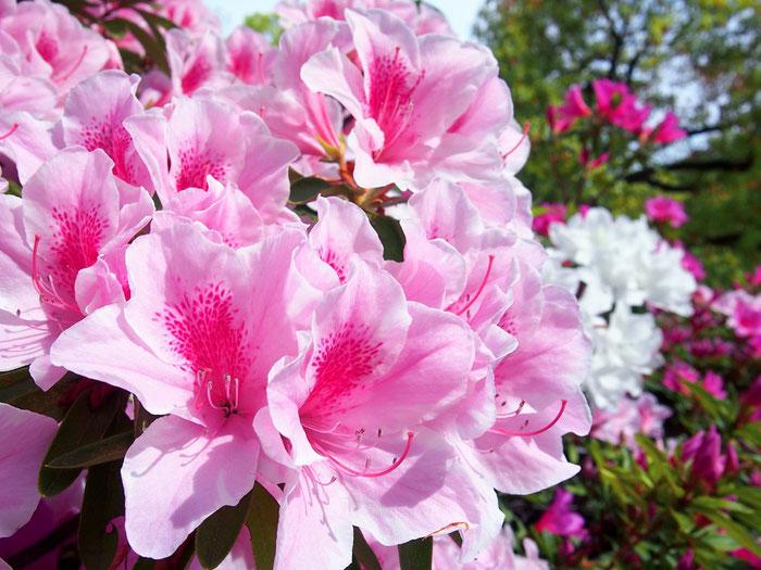 花酵母の日本酒に使われる花 つつじ