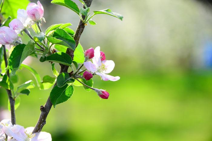 花酵母の日本酒に使われる花 りんご