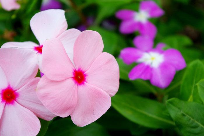 花酵母の日本酒に使われる花 日々草