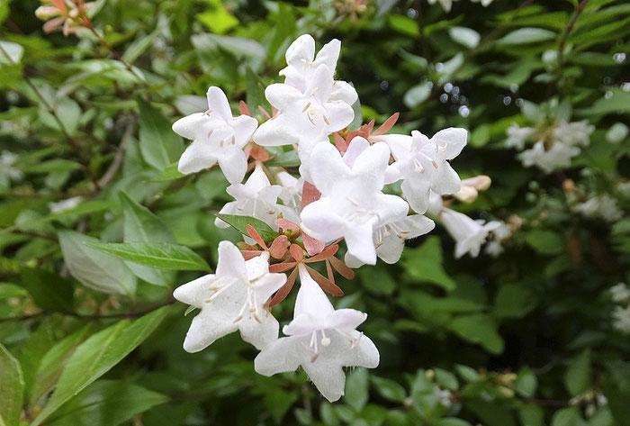 花酵母の日本酒に使われる花 アベリア