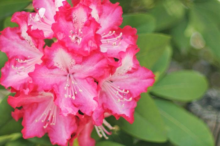 花酵母の日本酒に使われる花 シャクナゲ