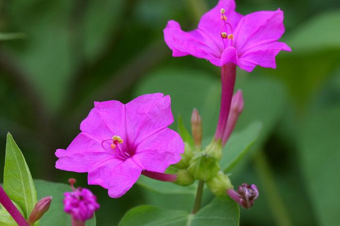 花酵母の日本酒に使われる花 オシロイバナ