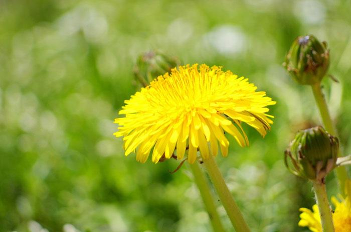 花酵母のお酒に使われる花 タンポポ