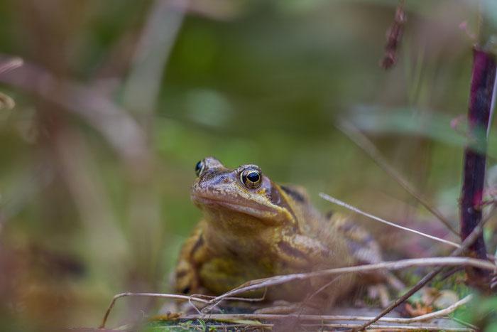 Frosch Gartenteich
