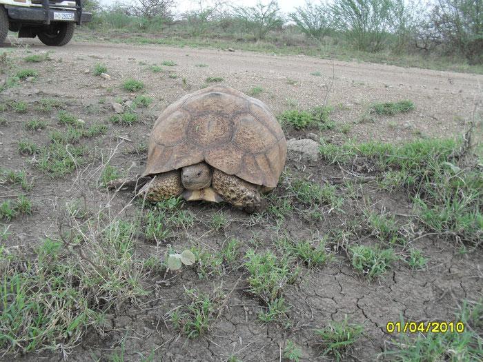 """... la """"tortue sillonnée"""" ou """"Geochelone sulcata"""", peut dépasser 1 m de longueur et peser plus de 100 kg. Ci-dessus un spécimène d'environ 45 cm."""