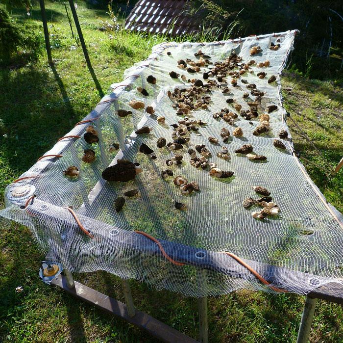 Morcheln trocknen an der Sonne