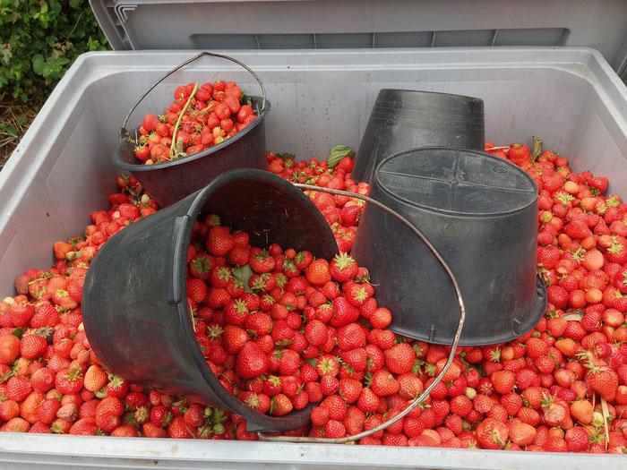 Erdbeeren - Ernte