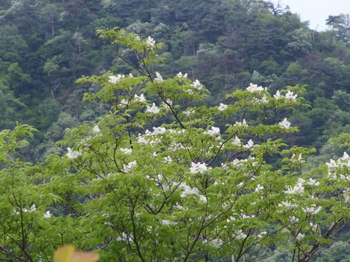 ザイフリボクのはずです。                                               高木なので花をマクロで写せないが、まさに采振りの姿をしたユニークな花です。