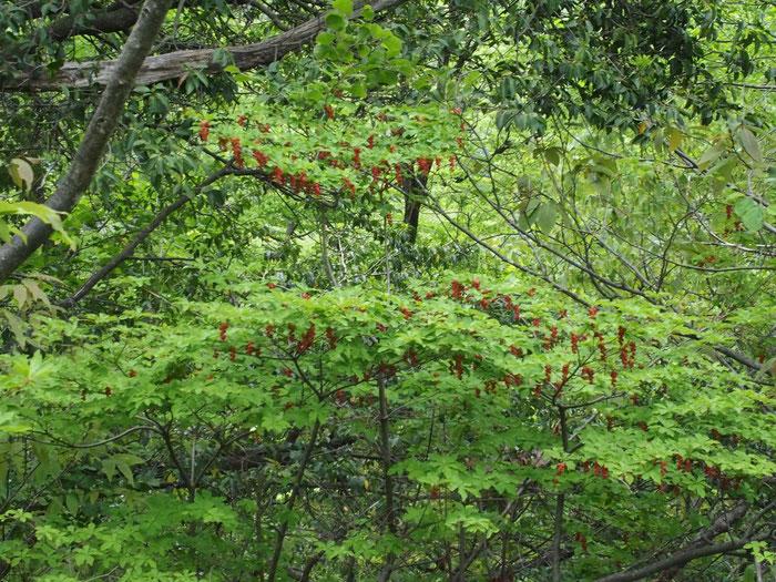 写真ではよく表現できていないが、一番上の枝・花房の塊はハート型でチャーミングでした。