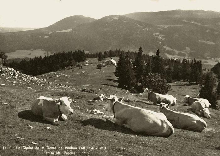 Le mucche beate al pascolo della Dent