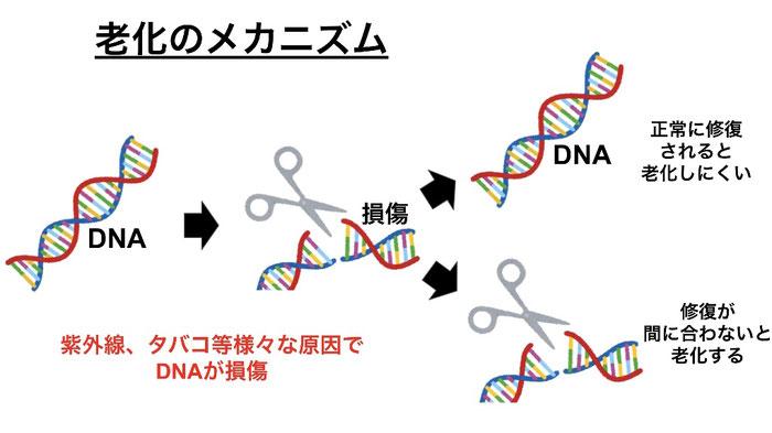 紫外線やタバコ等でDNAは損傷する。修復がうまくいかないと老化する。