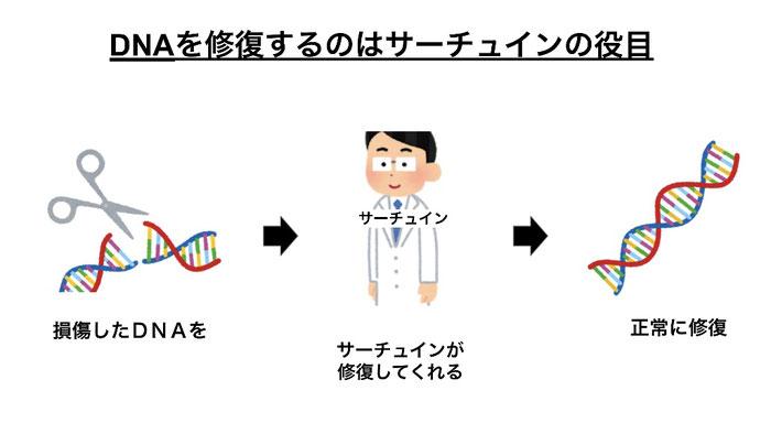 損傷したDNAを修復するのがサーチュイン遺伝子。サーチュインが活性化していれば正常にDNAを修復する。