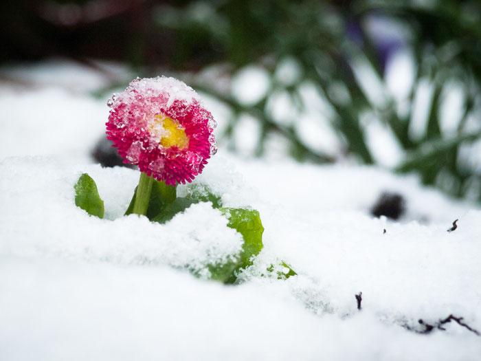 Frühlingsblume spitzelt