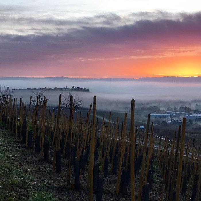 Le réveil du terroir - le Schoenenbourg en haute densité - Parcelle du Domaine Trapet Alsace - photographie : www.cheminsbioenalsace.fr