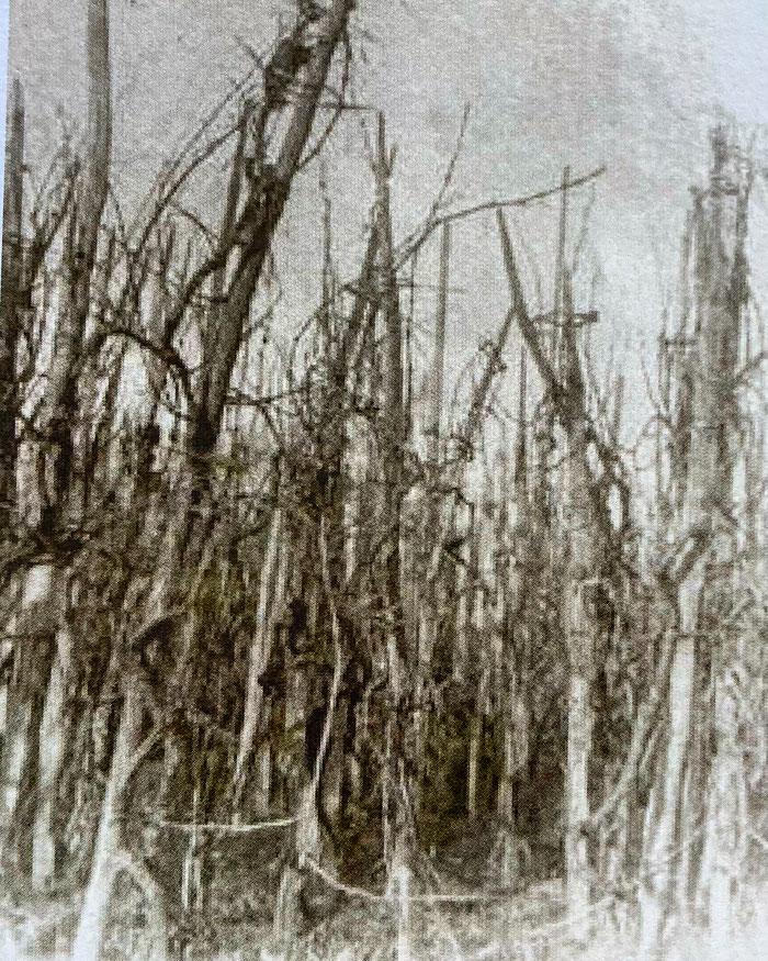 Vignoble de Ribeauvillé en 1880, une très haute densité de vignes à l'hectare et autant d'échalas - photographie  : Cercle de recherches historiques de Ribeauvillé et environs , revue N°22