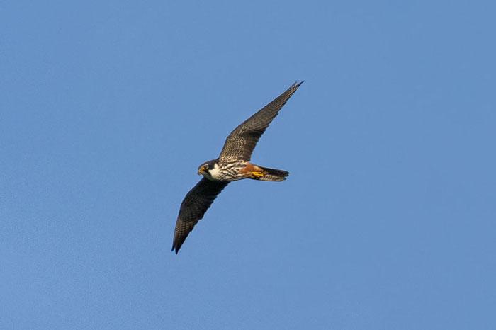 Baumfalke (Falco subbuteo)
