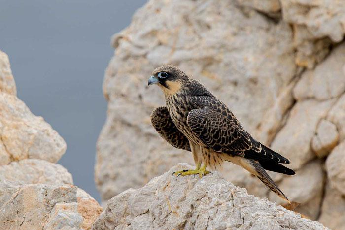 Junger Eleonorenfalke (Falco eleonorae) sitzt auf einem Felsen.